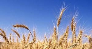 اثر العوامل الاقتصادية لسد الفجوة الغذائية للقمح في مصر